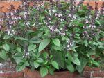 Базилик: выращивание дома и на участке